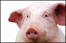 Vitamin nutrition for swine