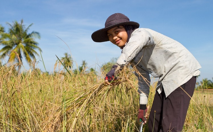 A manual worker is harvesting the seasonal rice paddy (Cambodia).RICE LIGHTBOX BELOW