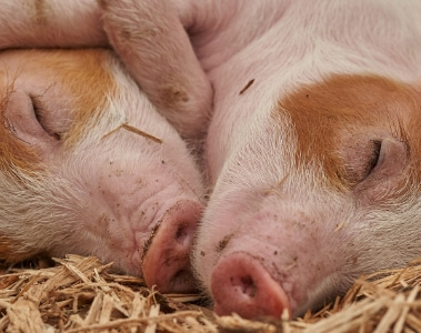 Increasing vitamin D intake for enhanced sow performance