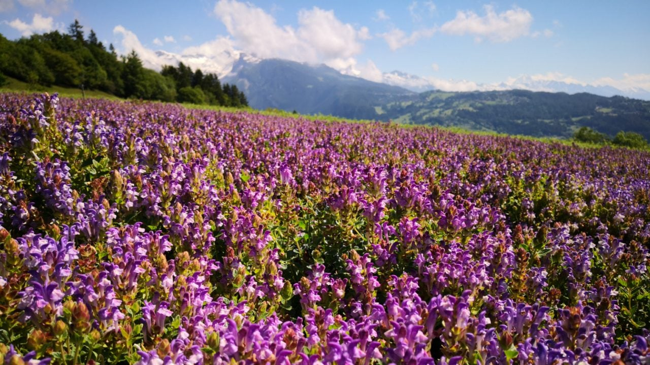Organic sustainable cultivation of ALPAFLOR® Scutellaria